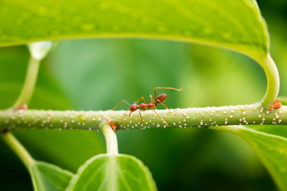 Jak zwalczać mrówki w domu?