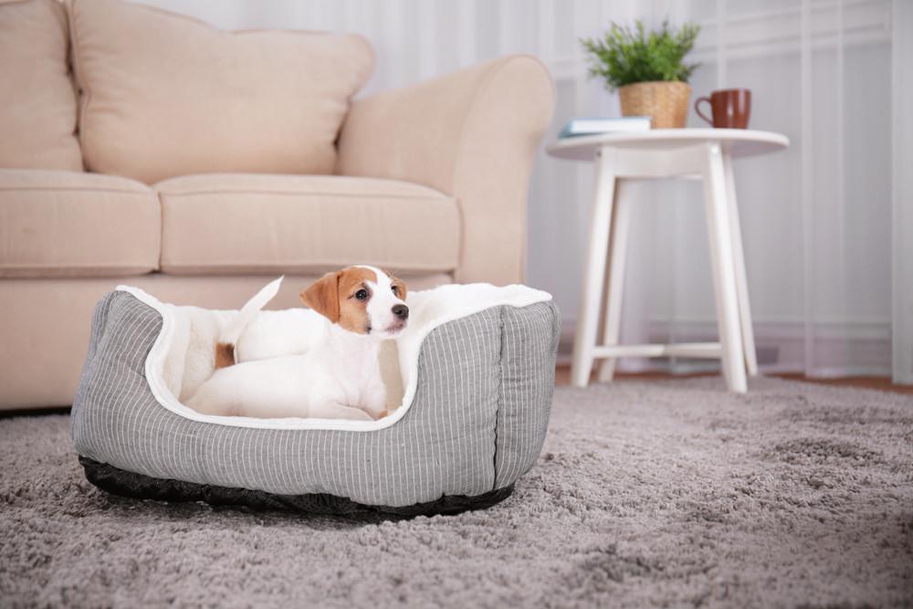 Pies w legowisku na dywanie