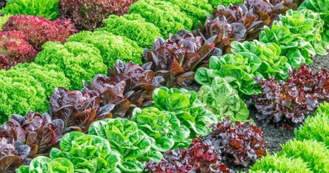 Właściwości odżywcze sałaty
